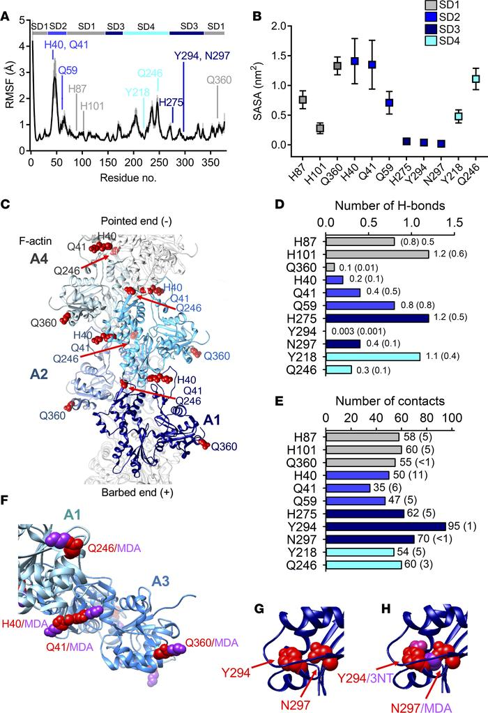 Altered filament stability, intersubdomain interactions, and myosin inte...