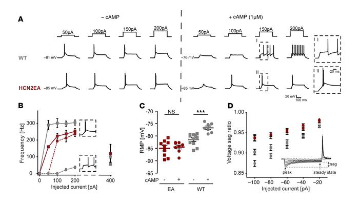 Lack of cAMP modulation in HCN2 alters firing properties of thalamocorti...