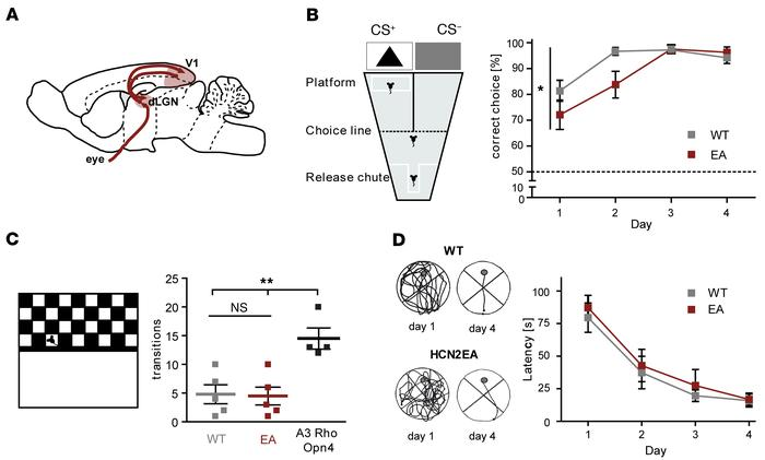 Lack of cAMP modulation in HCN2 impairs visual learning. (A) Scheme of t...