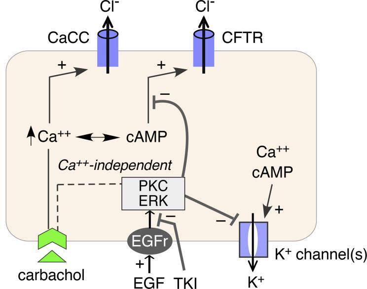 JCI Insight - Intestinal epithelial potassium channels and