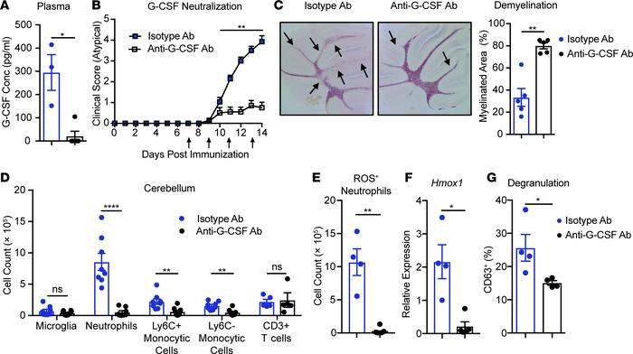 G-CSF neutralization suppresses brain-targeted, atypical EAE. EAE was in...