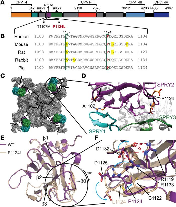 Position of P1124L in RyR2 and crystal structure of the SPRY2 domain. (A...
