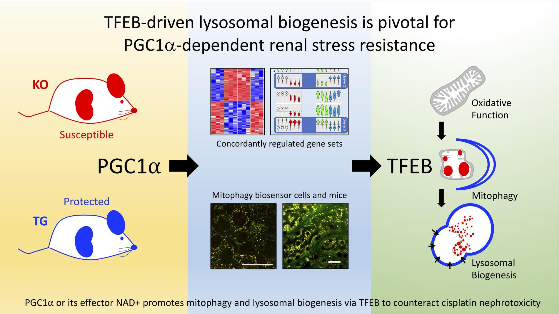 JCI Insight - TFEB-driven lysosomal biogenesis is pivotal