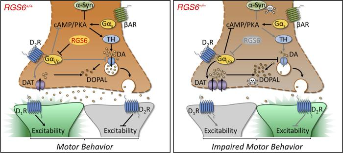 The proposed role of RGS6 in the regulation of presynaptic D2 receptor s...