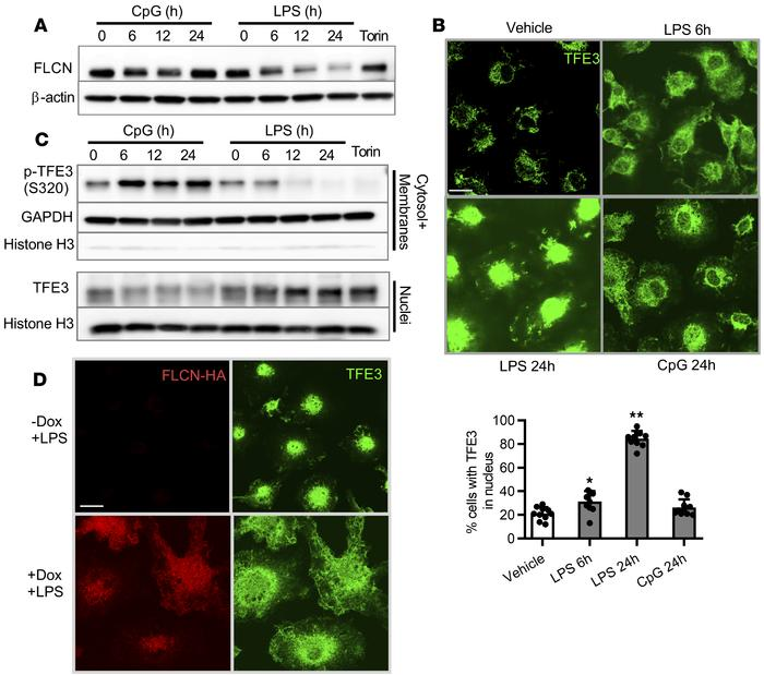 LPS but not CpG suppresses FLCN expression and subsequently induces TFE3...