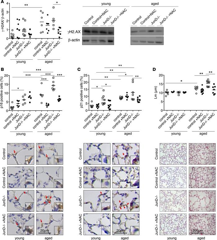 Aging and JunD deficiency lead to lung cellular senescence and structura...