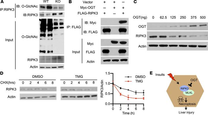 OGT glycosylates RIPK3 and regulates RIPK3 protein stability. (A) O-GlcN...