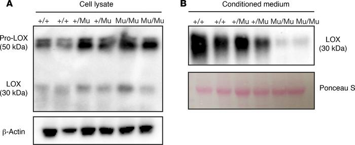 Mutant LOX is retained inside the cell. (A) Immunoblotting of MEF lysate...
