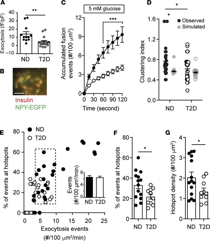 Spatial compartmentalization of granule fusion is reduced in T2D. (A) Ex...