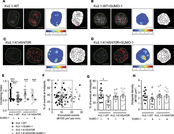 Kv2.1 SUMOylation sites regulate compartmentalization of fusion events. ...