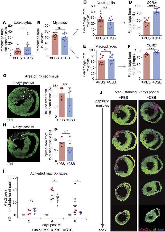 CSB inhibits neutrophil and macrophage activation in the heart following...