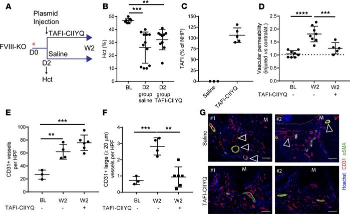 Overexpression of a stabilized TAFI variant normalizes vascular dysfunct...