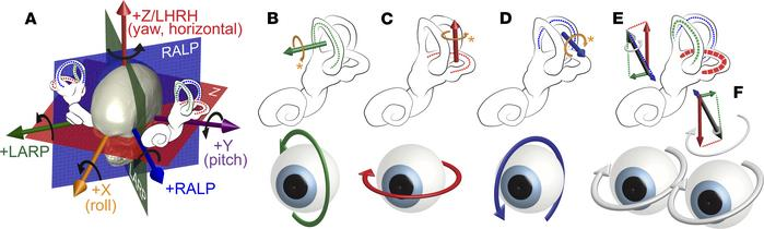 Coplanar pairs of semicircular canals in the vestibular labyrinths encod...