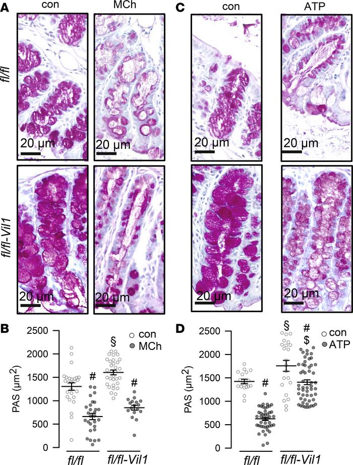 Production of mucus but not release is affected in TMEM16Ffl/fl Vil1-Cre...