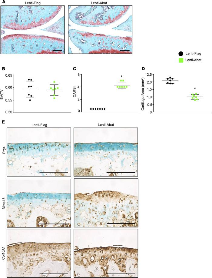 Abat overexpression accelerates OA progression in mice. MLI or sham surg...