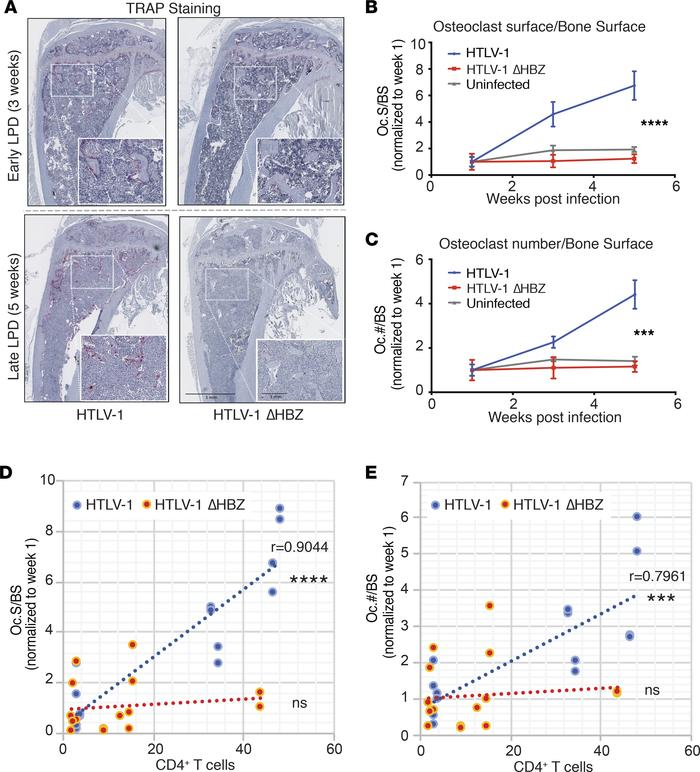 HTLV-1–infected humanized mice had increased osteoclast number in vivo. ...