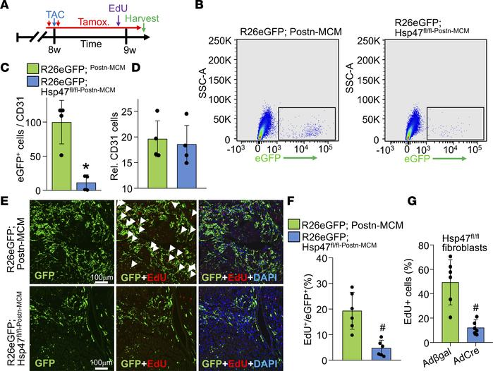 Myofibroblast-specific Hsp47 deletion reduces myofibroblasts in vivo and...