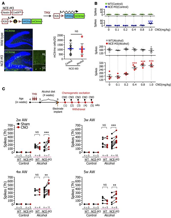 Chemogenetic activation of newborn DGCs increases epileptiform SWDs duri...