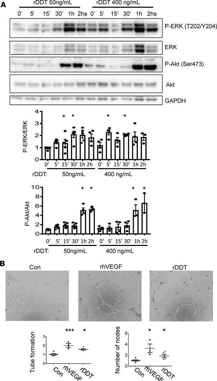 Effect of rDDT on the activation of proangiogenic signaling and the form...