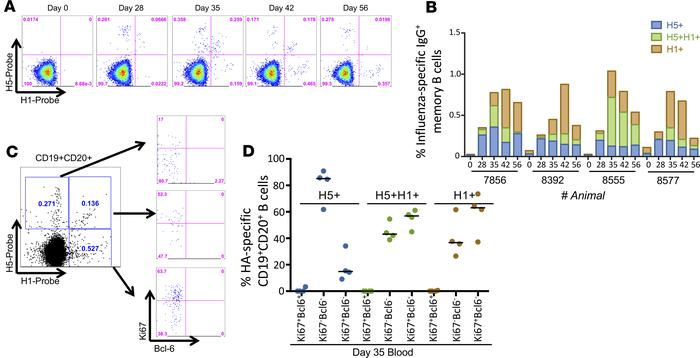 HA-specific memory B cells following mismatched prime-boost vaccination ...