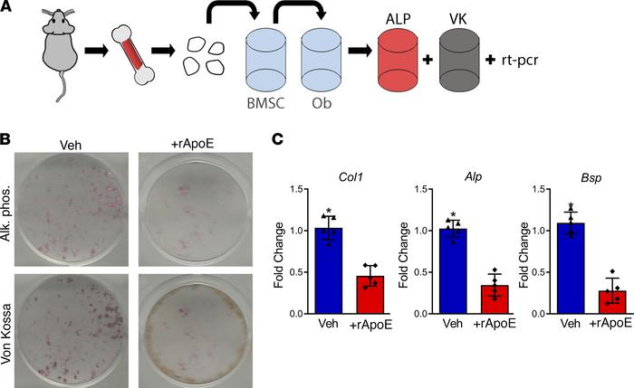 Treatment with rApoE decreases osteoblast differentiation. (A) Schematic...