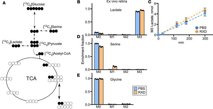 Ex vivo [13C6] glucose labeling of retina and in vivo [13C3] serine labe...