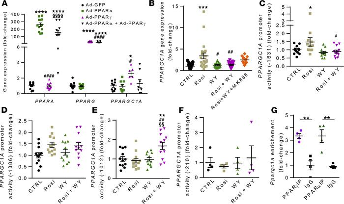 PPARα impairs PPARγ-mediated activation of PPARGC1A promoter activity. (...