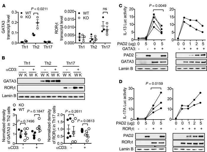 PAD2-mediated citrullination reciprocally regulates the activity of GATA...