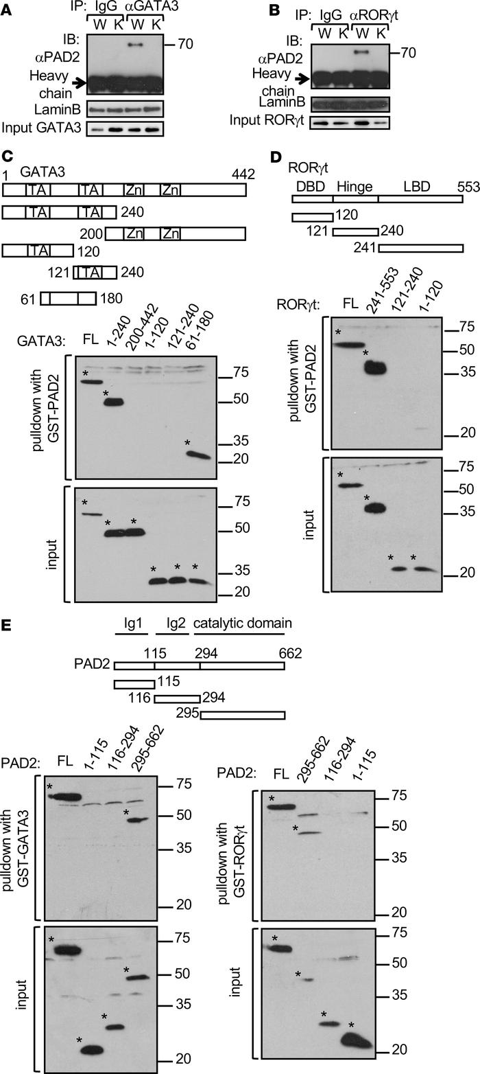 PAD2 physically interacts with GATA3 and RORγt. Whole cells extract was ...