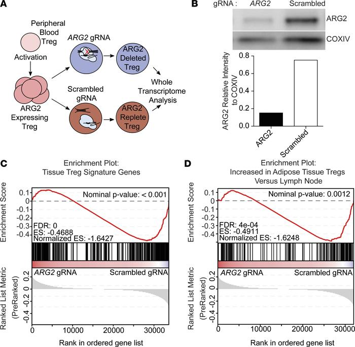 Arginase 2 expression confers a healthy tissue Treg signature. (A) Schem...