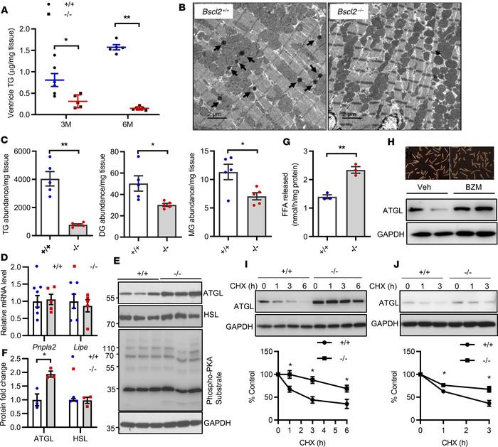 BSCL2 deficiency reduces intramyocellular glycerolipids and elevates ATG...