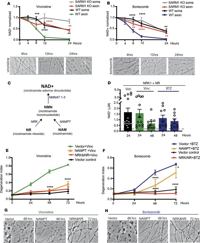 Vincristine and BTZ induce SARM1-dependent depletion of axonal NAD+. (A)...