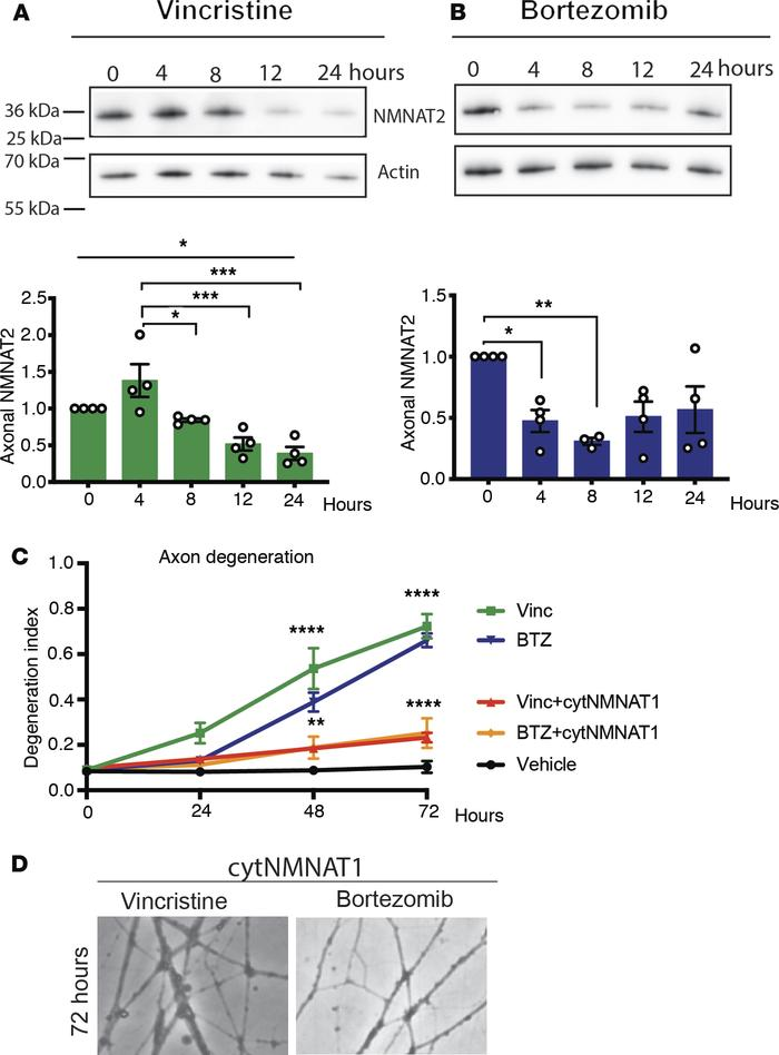 Axonal NMNAT2 levels decrease after vincristine and BTZ administration. ...