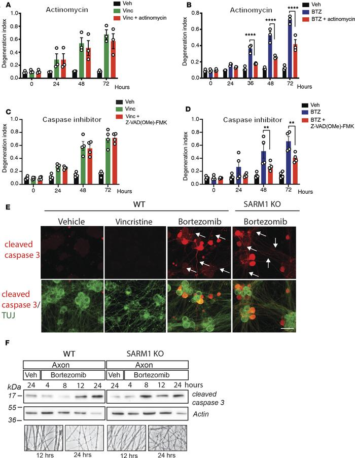 Axon degeneration stimulated by BTZ is transcriptionally regulated and m...