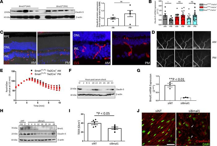 Bmal1 regulates claudin-5 levels at the iBRB. (A) Claudin-5 expression a...