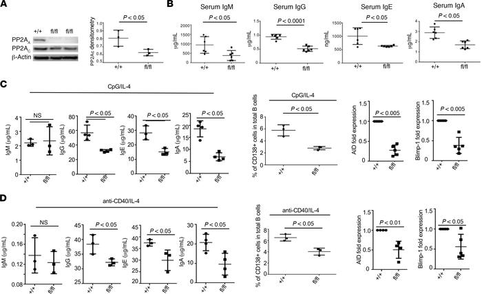 PP2A is important for B cell activation and Ig production in vitro.  (A)...