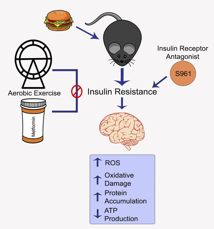 Proposed model by which insulin sensitizing through aerobic exercise and...