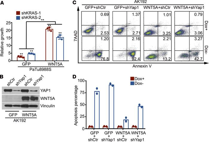 WNT5A overexpression leads to the bypass of KRAS dependency. (A) Cell gr...