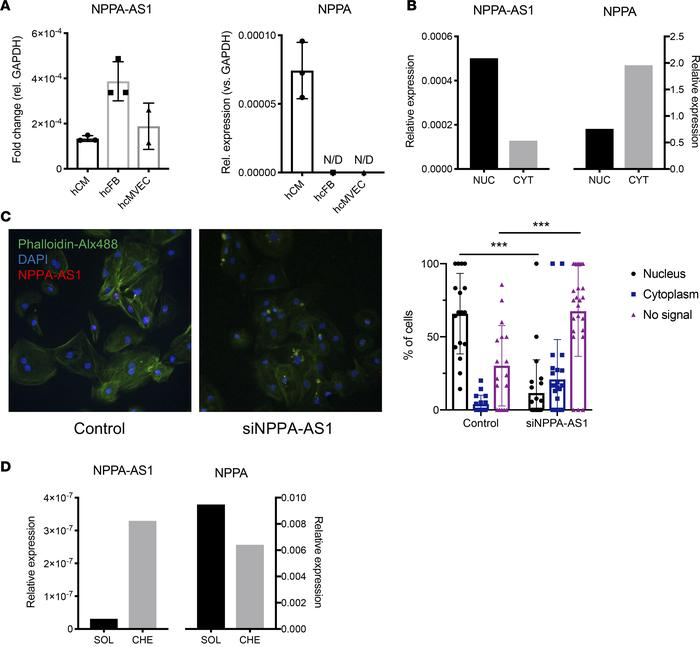 Cellular and subcellular localization of NPPA-AS1. (A) NPPA-AS1 and NPPA...