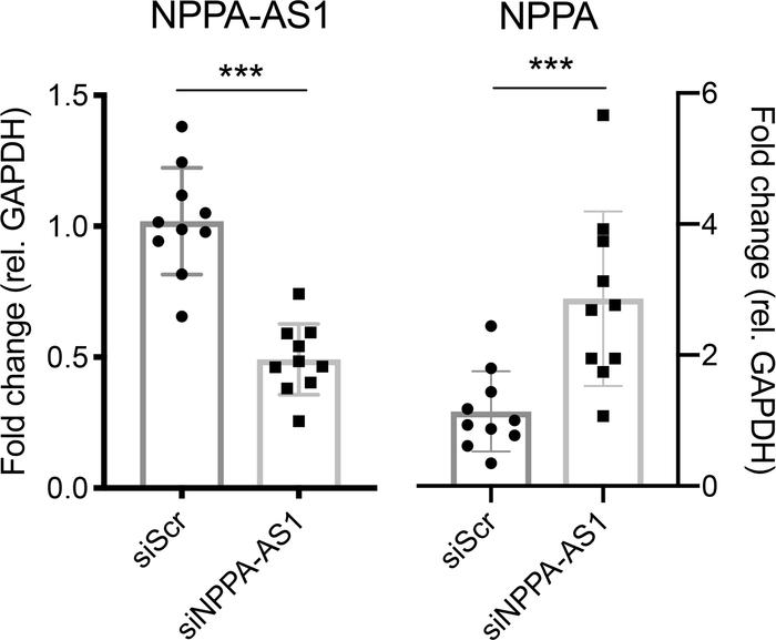 NPPA-AS1 inhibits NPPA expression. iPS-CMs were transfected with scramb...
