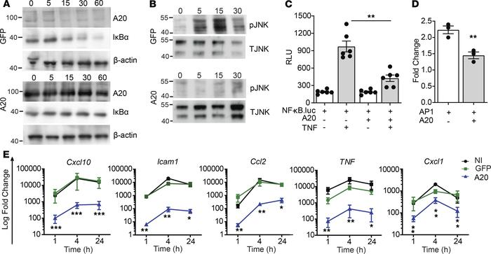 A20 inhibits TNF-induced inflammatory signaling in β cells. (A and B) Im...