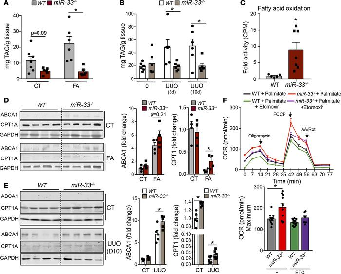 Loss of miR-33 increases FAO and reduces renal lipid accumulation. (A an...