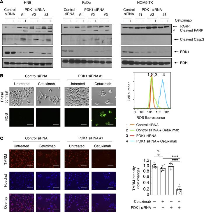 Cetuximab sensitizes HNSCC cells to PDK1-silencing–induced apoptosis, RO...
