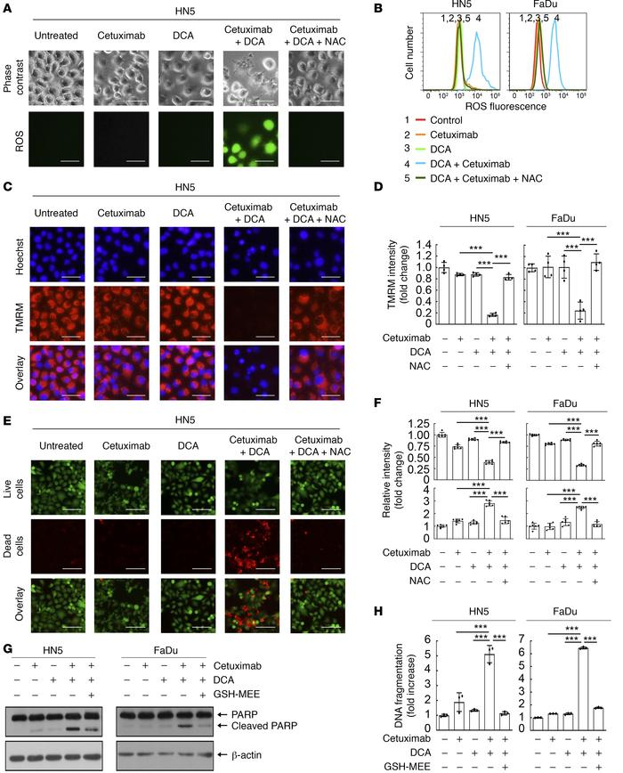 Cetuximab sensitizes HNSCC cells to DCA-induced ROS overproduction, mito...