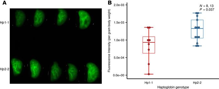 Hp2-2 increases lung microvascular permeability. AngioSense, a fluoresc...
