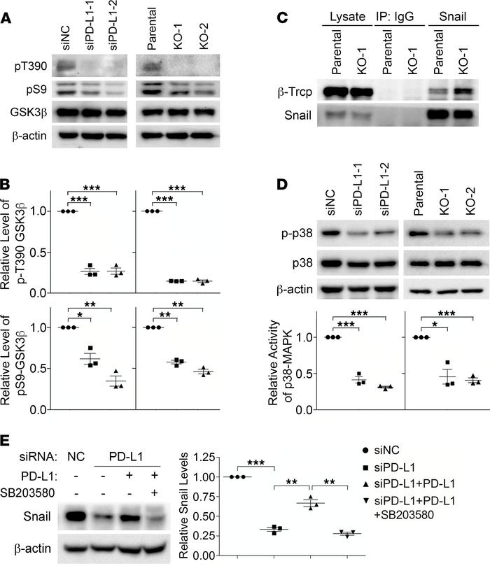 PD-L1 prevents Snail ubiquitination via p38-MAPK–mediated inhibition of ...