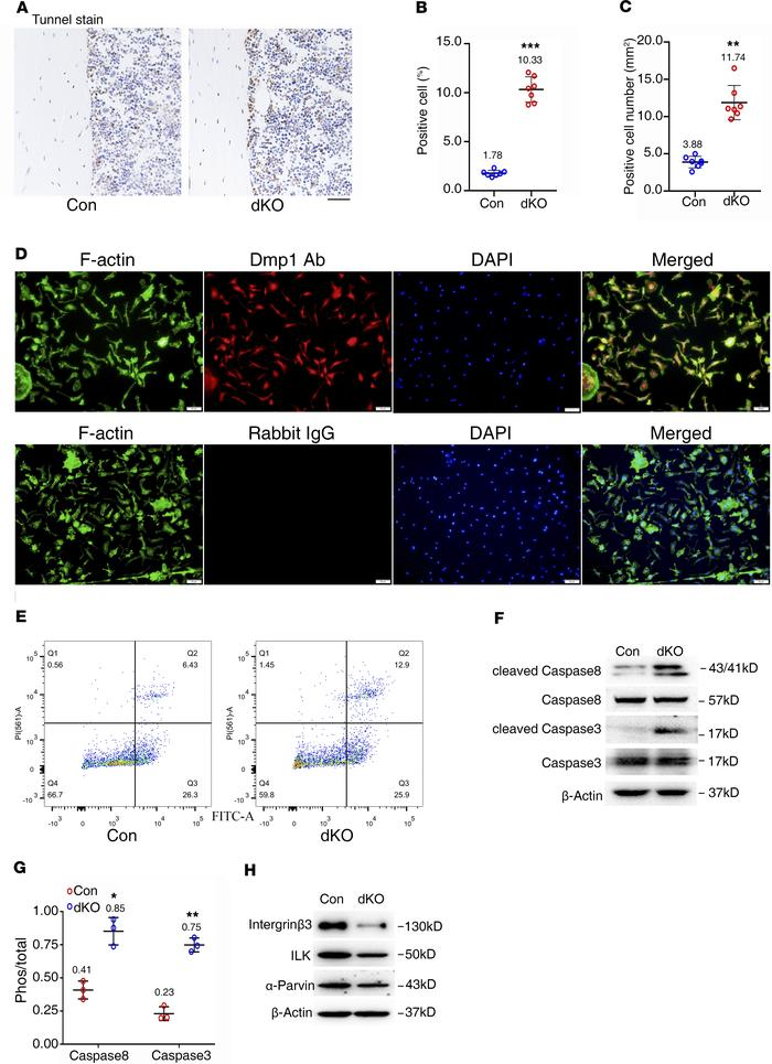 Reduced integrin β3, ILK, and α-parvin; increased active caspase-3 and -...