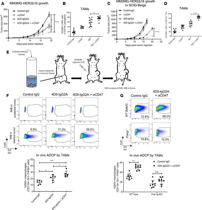 CD47 blockade increases therapeutic efficacy of mouse trastuzumab and au...