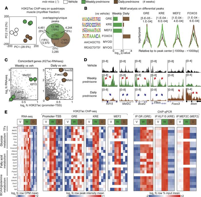 Epigenomic programs in steroid-treated dystrophic mouse muscles. (A) PCA...