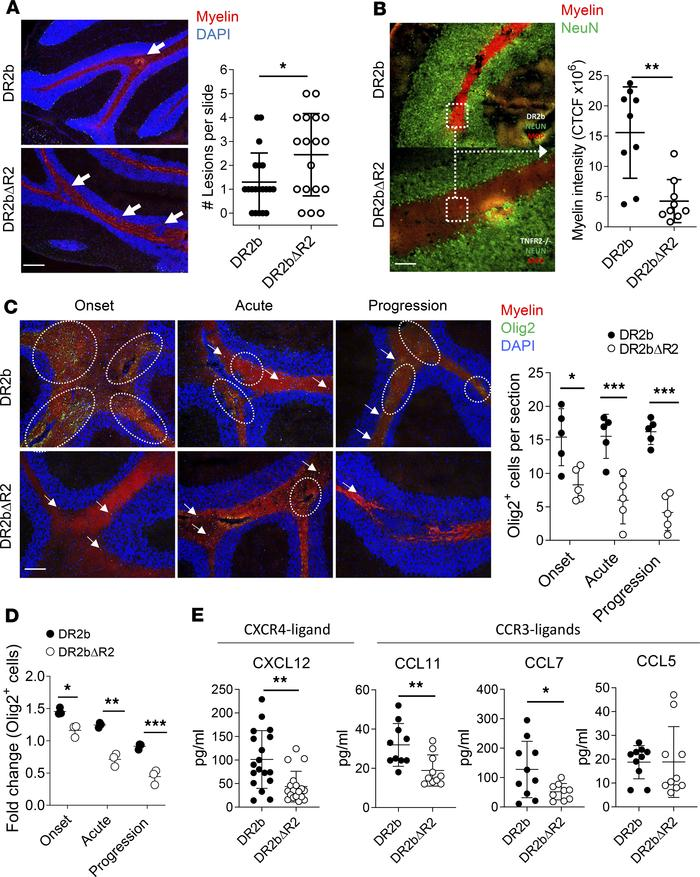 TNFR2 promotes remyelination in EAE. Passive EAE induction by adoptive t...